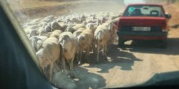 owieczki na hiszpańskich drogach