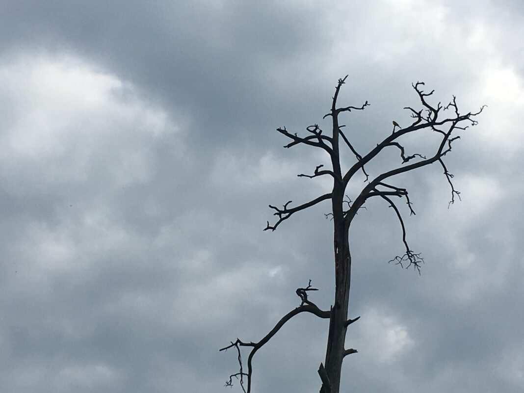 Uschnięte drzewo